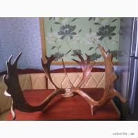 Продам красивые рога благородного оленя