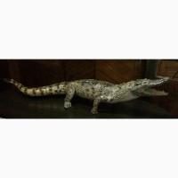 Продам чучело кубинского крокодила