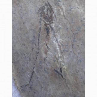 Продам окаменілий скелет риби