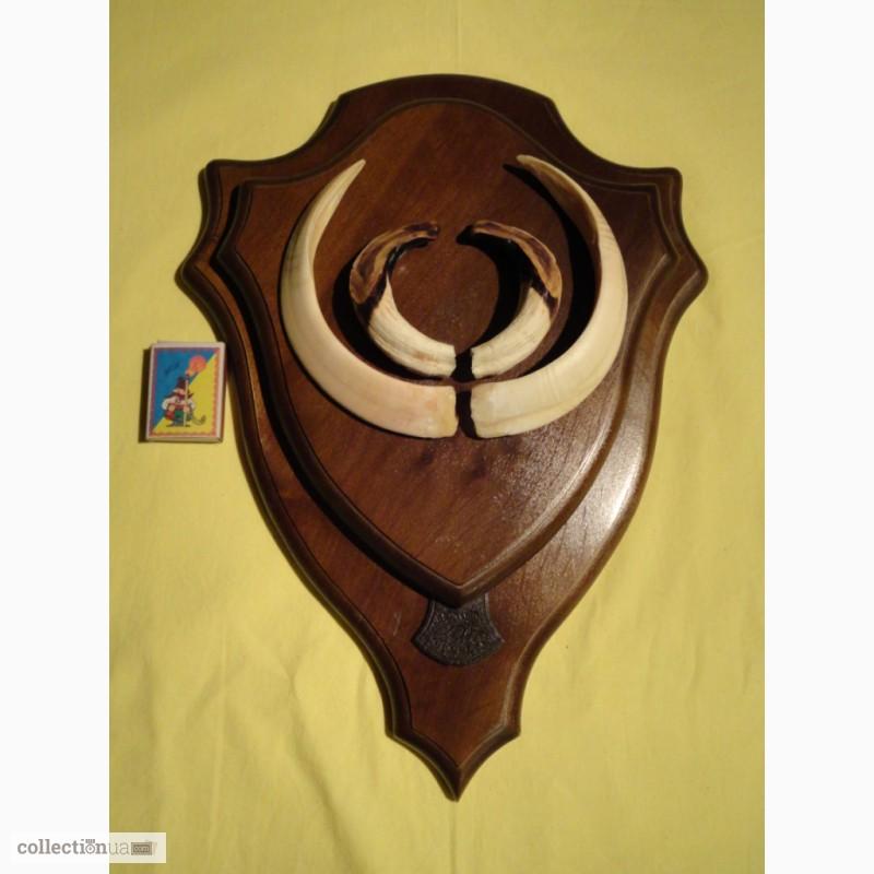 Фото 9. Охотничий трофей - клыки кабана СЕКАЧА, на 2-ном медальоне