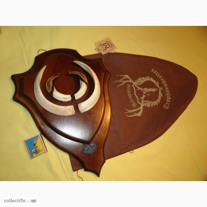 Фото 11. Охотничий трофей - клыки кабана СЕКАЧА, на 2-ном медальоне