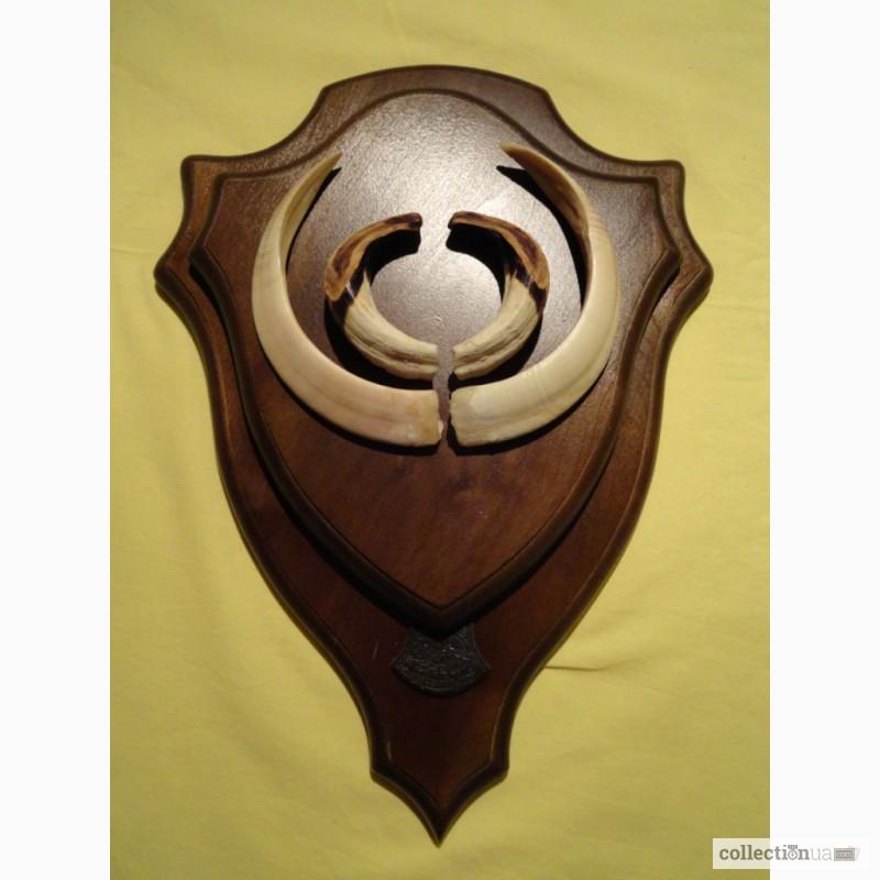 Фото 3. Охотничий трофей - клыки кабана СЕКАЧА, на 2-ном медальоне