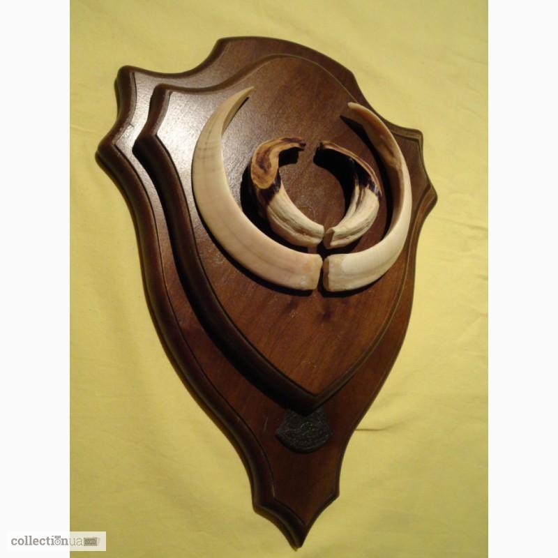 Фото 5. Охотничий трофей - клыки кабана СЕКАЧА, на 2-ном медальоне