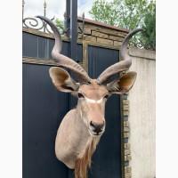 Африканская антилопа Куду