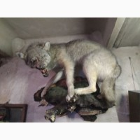 Продам чучело волка